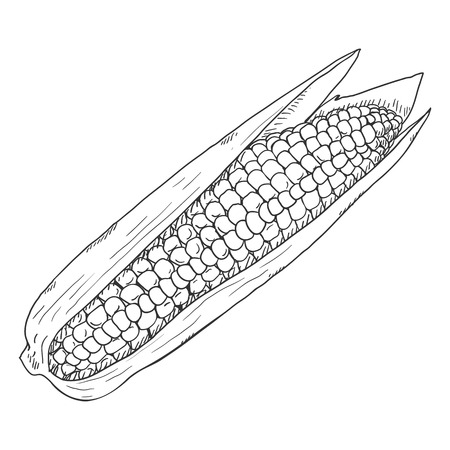 Vector Sketch Corn Cob with Leaves