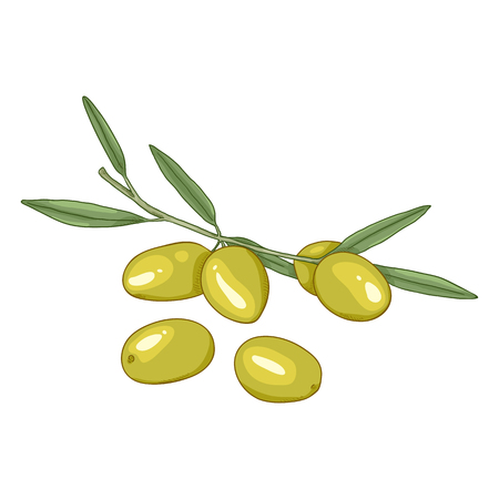 Vector Cartoon Green Olives on Branch with Leaves Иллюстрация