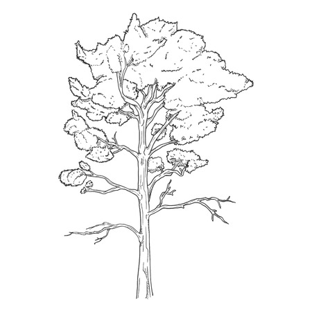 Vector Hand Drawn Sketch Pine Tree