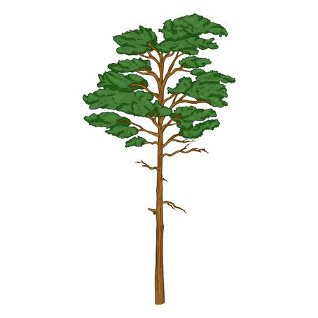 Vector Cartoon Evergreen Pine Tree