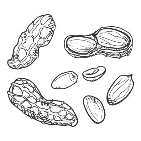 Set of Sketch Peanuts. In Shell and Peeled