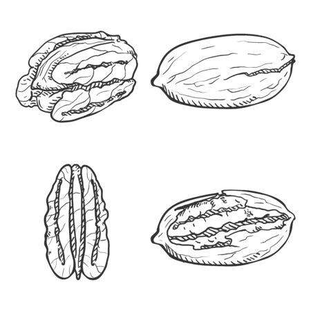 Hand Drawn Sketch Set of Pecan Nuts