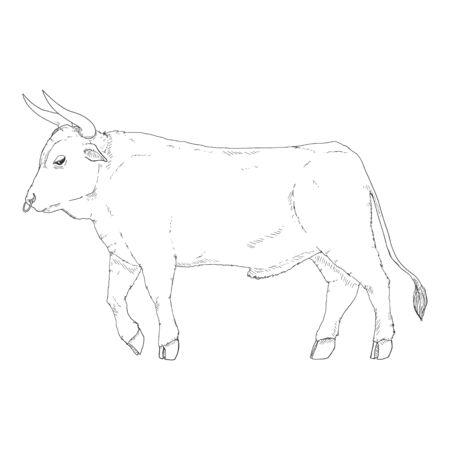 Sketch Bull. Vector Hand Drawn Illustration. Side View.  イラスト・ベクター素材
