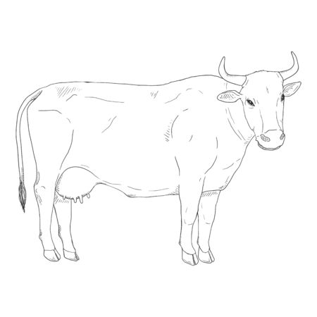 Sketch Cow. Vector Hand Drawn Illustration. Side View. 免版税图像 - 140352756