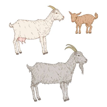 Vector Set of Cartoon Goats. Baby-goat, She-goat and He-goat Illustrations.