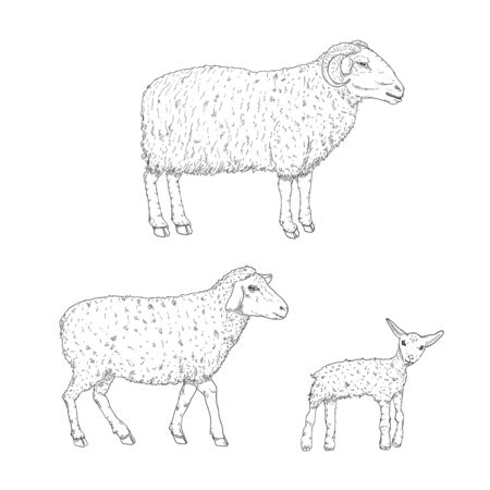 Vector Set of Ram, Sheep and Lamp Sketch Illustrations