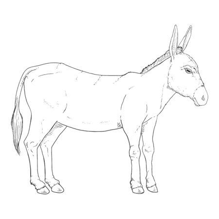 Sketch Donkey. Single Vector Hand Drawn Illustration.
