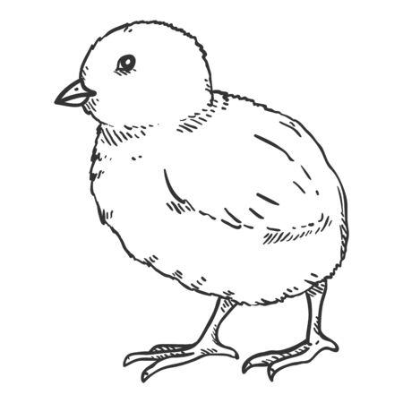 Vector Sketch Chick. Hand Drawn Illustration of Chicken Baby.