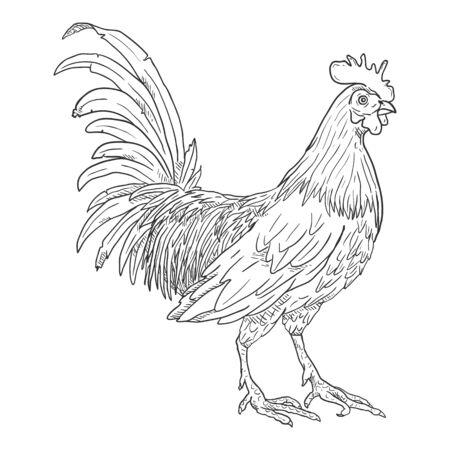 Vector Sketch Rooster. Cockerel Illustration.