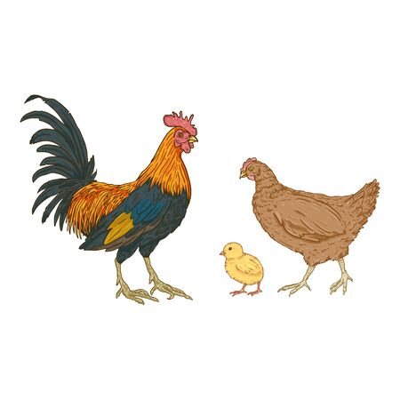Vector Cartoon Set of Poultry Birds. Rooster, Chick and Hen. Chicken Illustrations.
