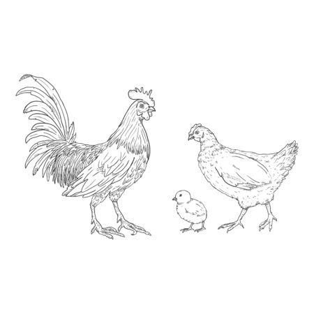 Vector Sketch Set of Poultry Birds. Rooster, Chick and Hen. Chicken Illustrations.