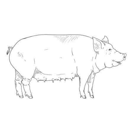 Vector Sketch Pig. Sow Hand Drawn Illustration 일러스트