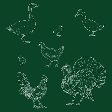Vector Set of Chalk Sketch Poultry. Farm Birds.