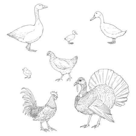 Vector Set of Sketch Poultry. Farm Birds. 矢量图像