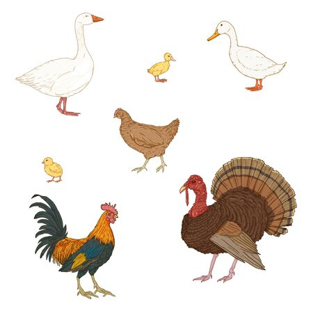 Vector Set of Cartoon Poultry. Farm Birds.