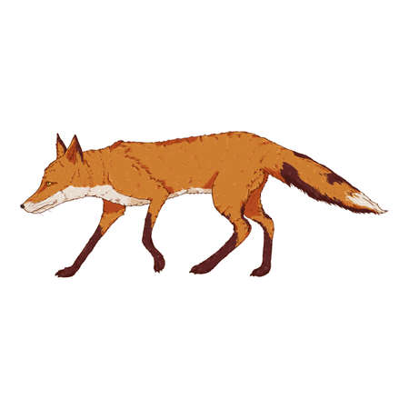 Walking Fox. Side View. Vector Cartoon Illustration of Vixen.