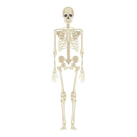 Skeleton Full Length Front View. Vector Anatomical Flat Illustration