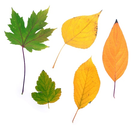collection beautiful colourful autumn leaves isolated on white background  Stock Photo