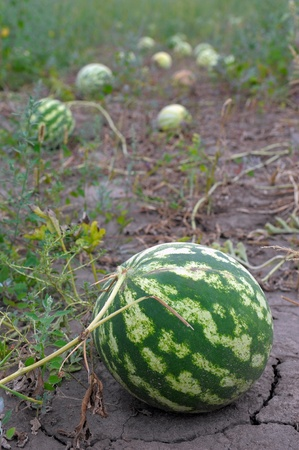 Ripe water-melons on a water-melon field photo