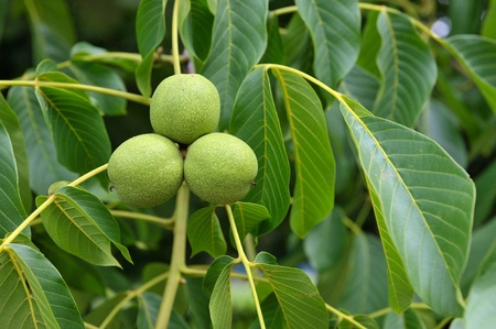 Green walnuts growing on a tree, close up Stock Photo