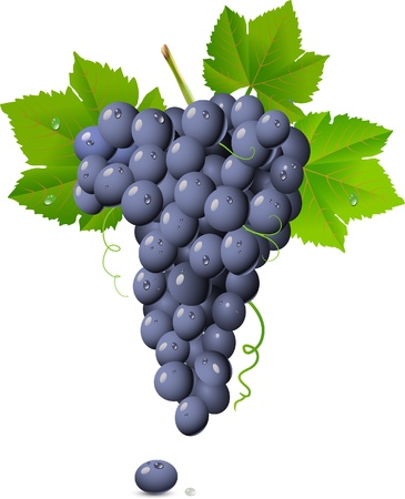 Grape cluster isolated on white Stock Vector - 13783134