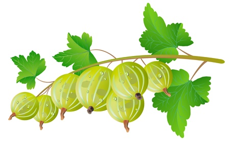 grosella: Grosella espinosa verde sobre un fondo blanco. Vectores