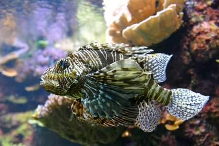 dragonfish: close up of poisonous lion fish or scorpion Stock Photo