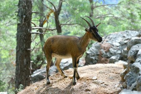 wild goat: cabra salvaje en el bosque Foto de archivo