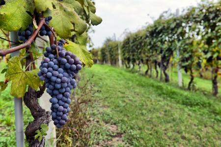 merlot druiven aan de wijnstok Stockfoto