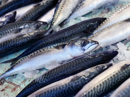 Fresh mackerel fish (Scomber scrombrus) on ice photo