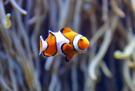 clown fish: clown fish aquarium in France