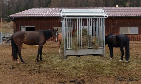 haymow: horses eating hay on the farm Stock Photo