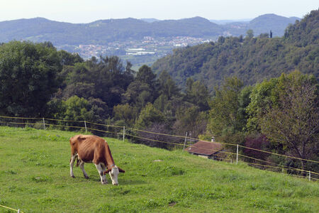 Cow grazing on a green pasture. photo
