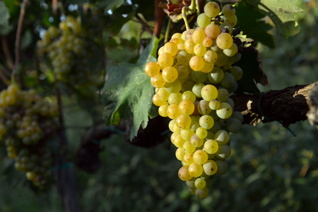 muscat: muscat grapes on the vine