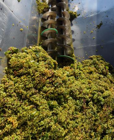 winepress: pressure grapes at the winery