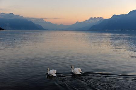 geneva: two swans on Lake Geneva at sunset
