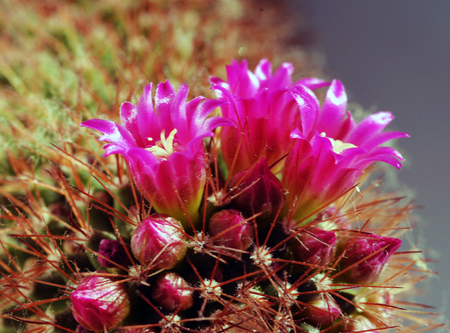 ball cactus in vivid bloom