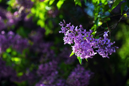 Spring lilac flowers in blossom in the spring garden Stock Photo