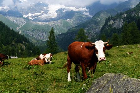 牧草地に茶色と白の牛。 牛ファームの美しい変な牛。放牧フィールドと自然の背景に茶色の子牛