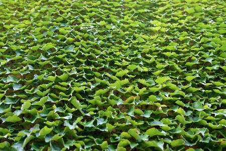 Wall covered with green grape leaves, texture