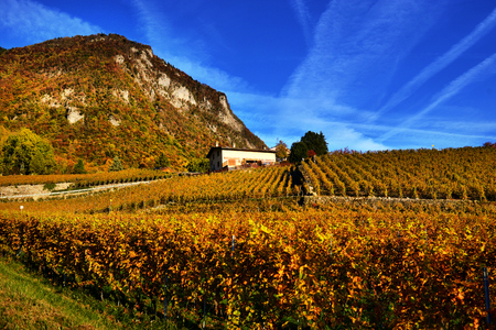 panorama of autumn vineyards in Switzerland View on Lavaux region by autumn day