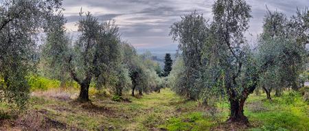 Jardin d'oliviers. Champ d'olivier méditerranéen prêt pour la récolte. L'oliveraie italienne avec des olives fraîches mûres. Ferme oléicole.