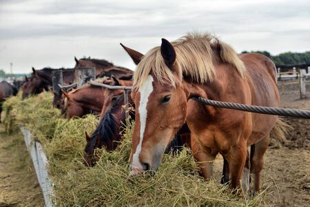 horses eating hay on the farm 스톡 콘텐츠
