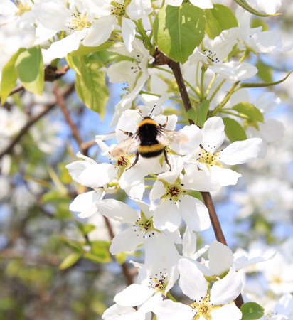 Bumblebee on apple blossom in May