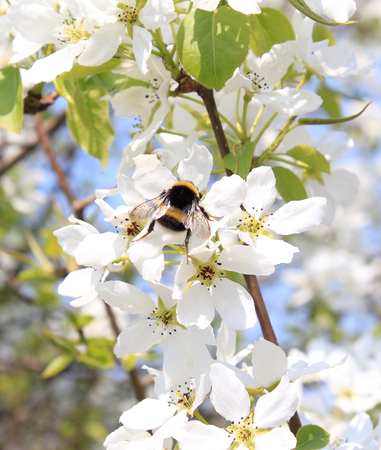 Bumblebee in the flowers of apple photo