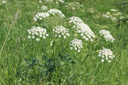 hemlock: Blooming Hemlock