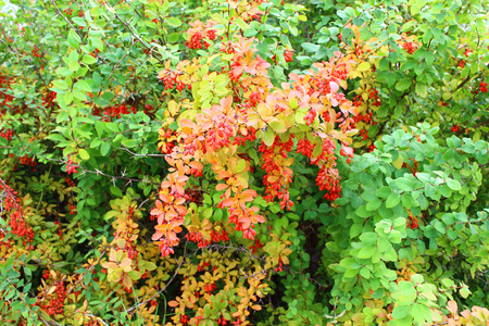 barberry: The berries of barberry Stock Photo