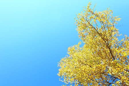Yellow birch on blue sky background photo