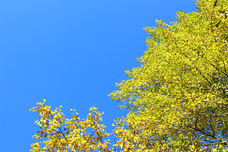 Yellow trees in autumn photo