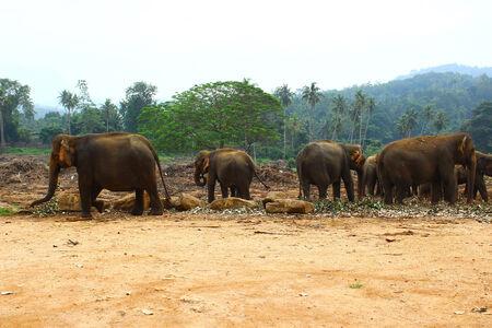 kandy: Elephants in elephant nursery, Sri Lanka, Kandy Stock Photo